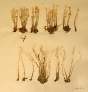 Dessin sur la reproduction sexuée des céréales par le botaniste et zoologiste J. C. D. Schreber.